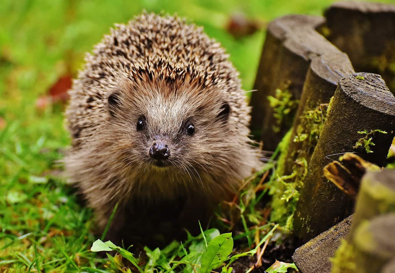 hedgehogs help with ED