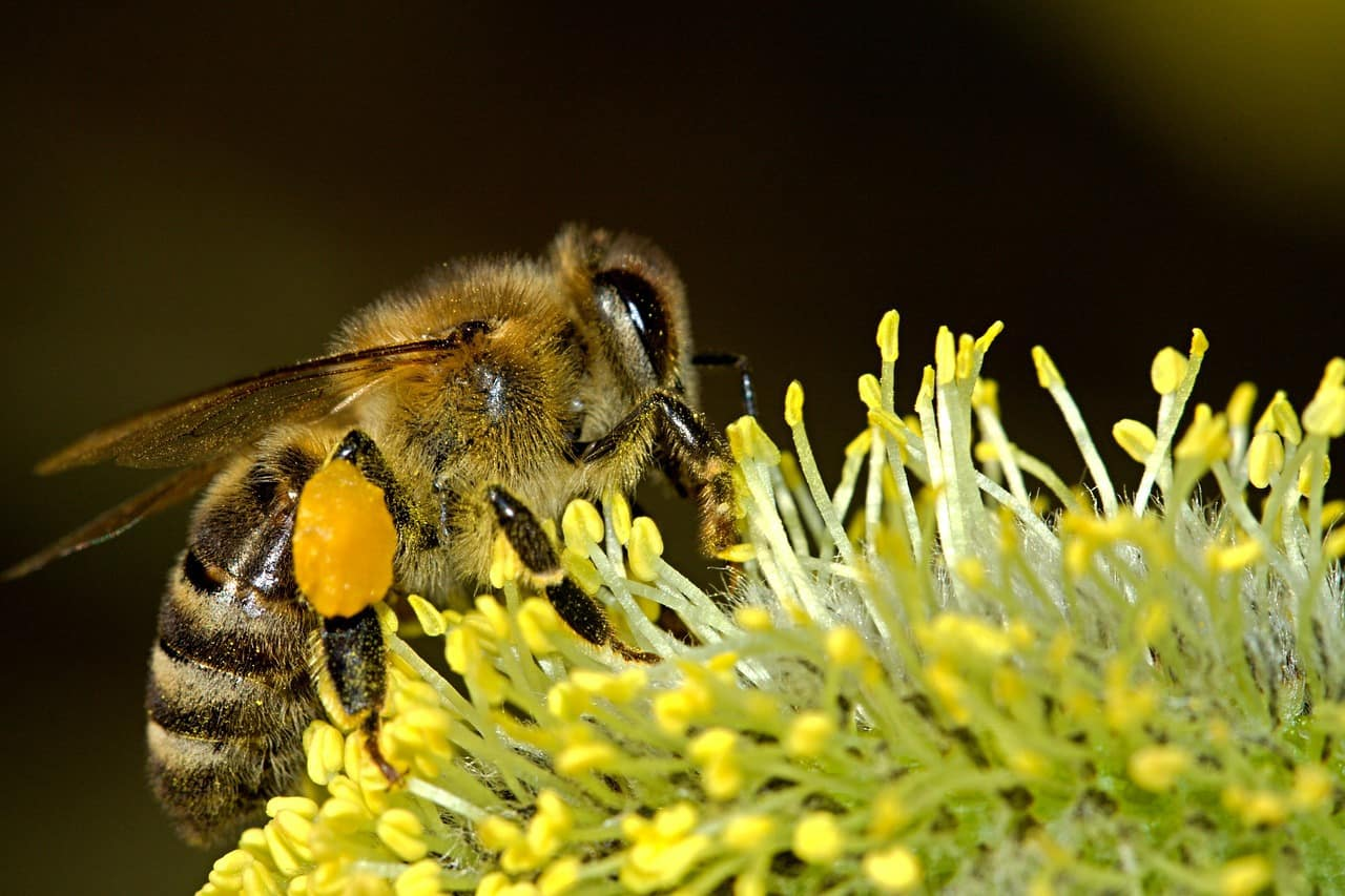 Bee Pollen Extract Helps Treat Chronic Prostatitis