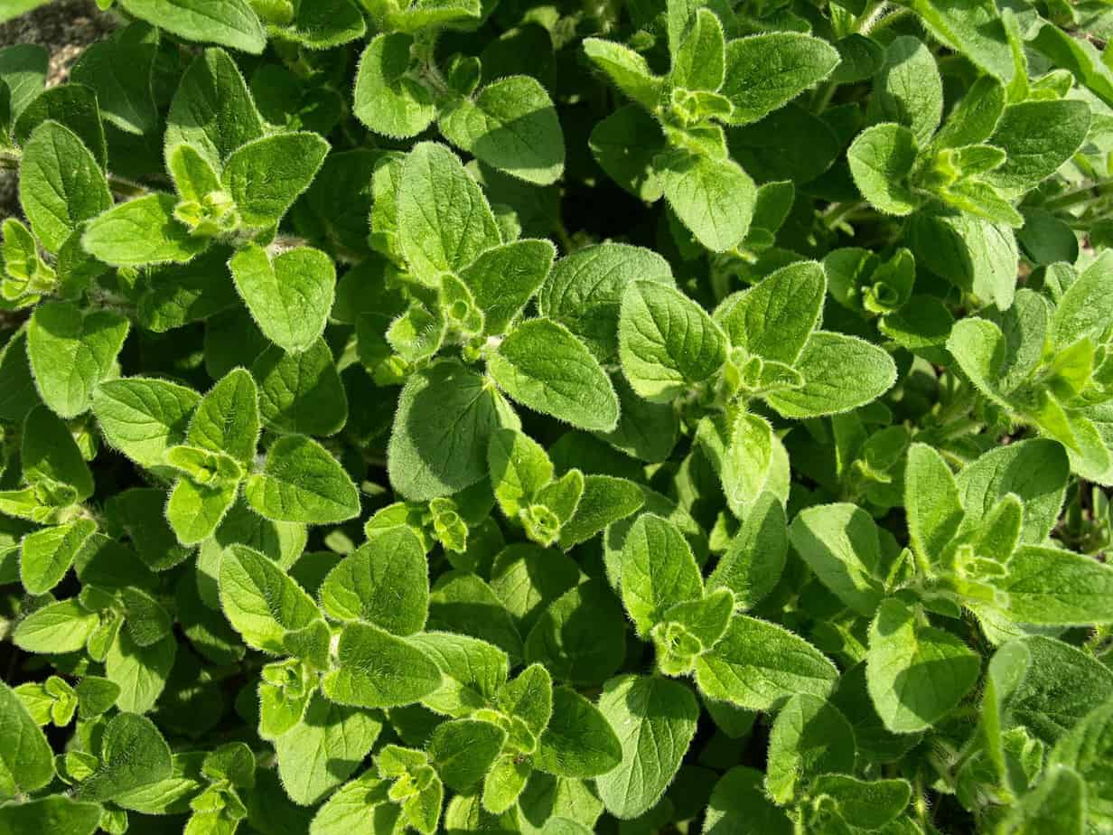 Oregano good for prostate cancer and pasta