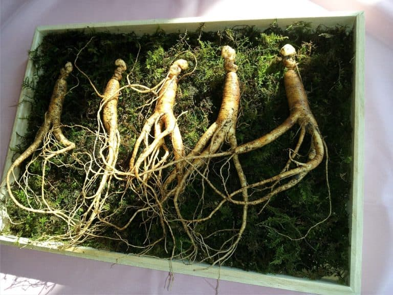 Can Ginseng Treat Erectile Dysfunction?