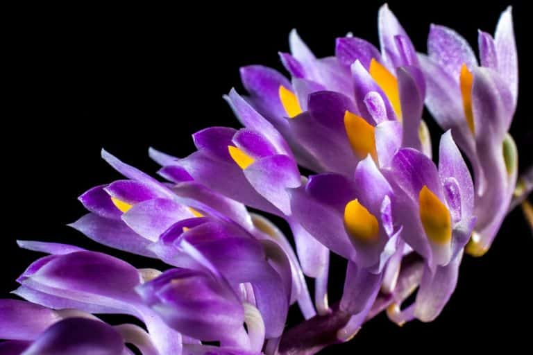 Can Orchids Help Erectile Dysfunction?