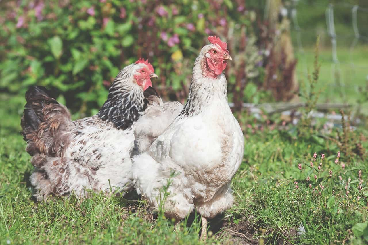 What's the link between chickens and penis cancer