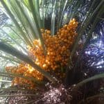 Can Saw Palmetto Reduce My Prostate Size?