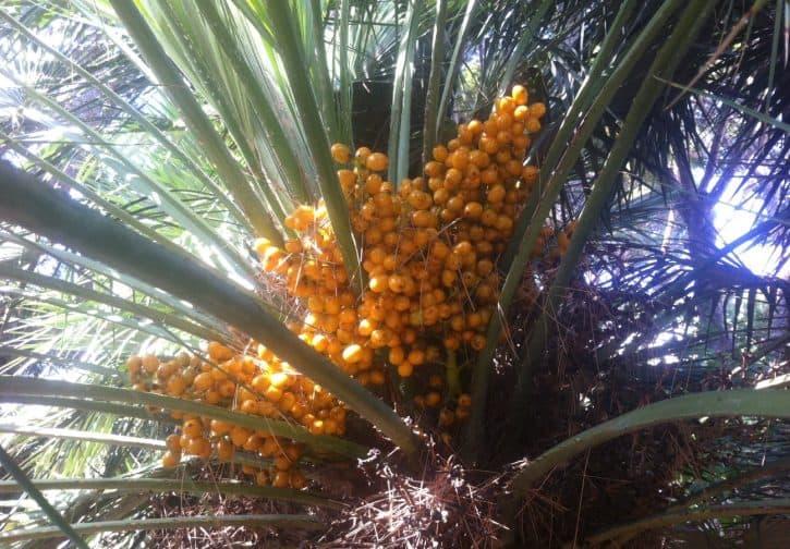 does saw palmetto improve urinary tract symptoms