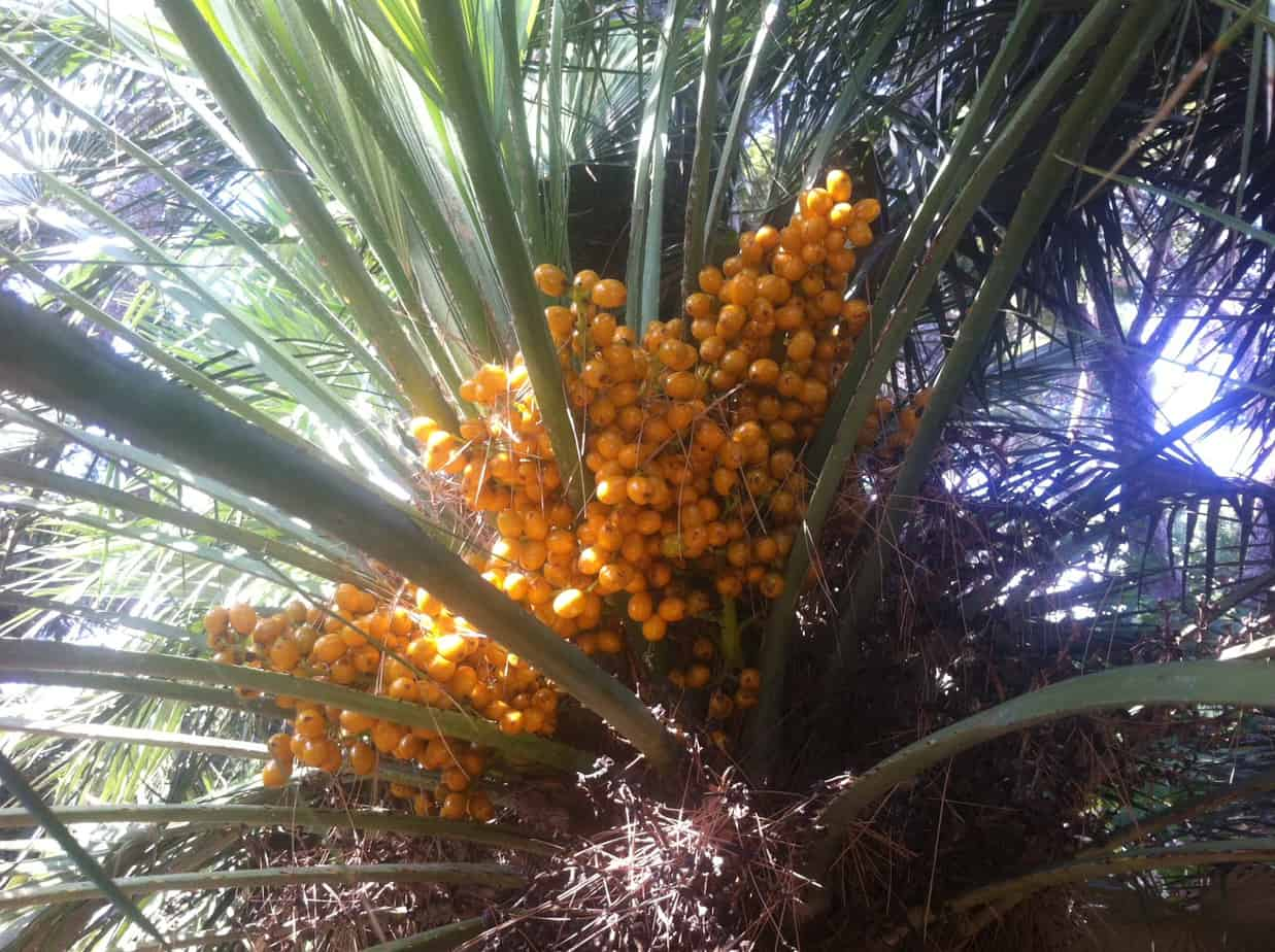 does saw palmetto improve urinary tract symptoms