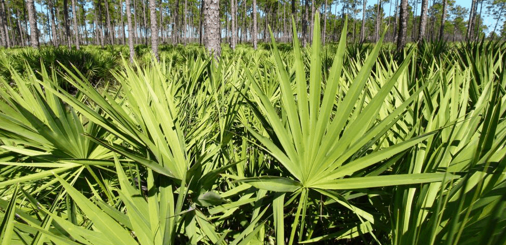 Can Saw Palmetto Treat Prostatitis?
