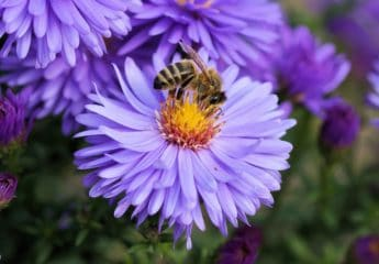 Pollen extract for chronic pelvic pain syndrome
