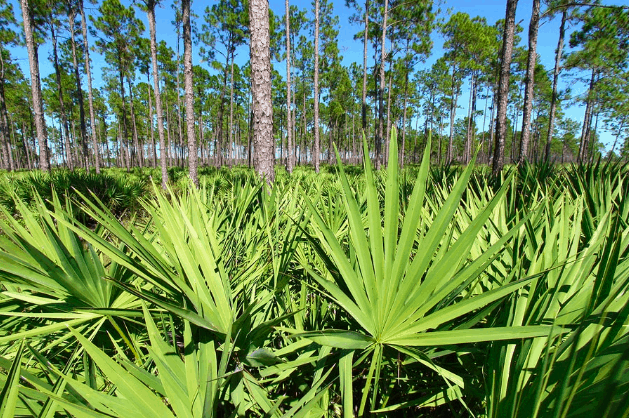 Can Saw Palmetto Shrink the Prostate?