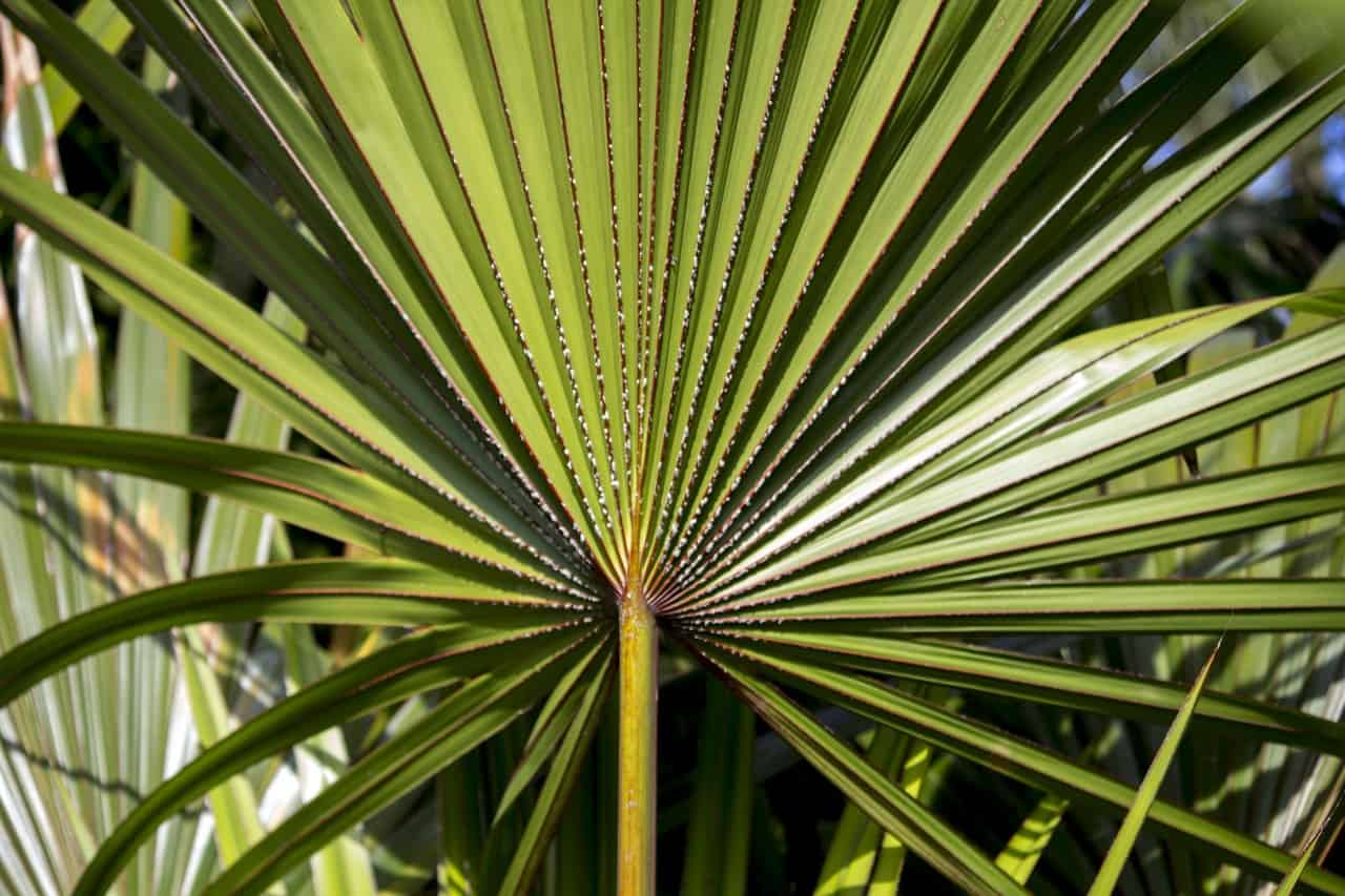Saw Palmetto and Enlarged Prostate: Latest Findings